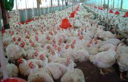 Tecnologia na base da produção garante rentabilidade na avicultura de SC