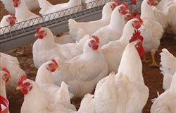 Carne de frango tem ou não hormônio? - por Graziela Silva