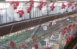 Burger King anuncia política de transição total para ovos produzidos sem gaiolas