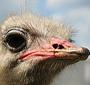 Cidade do Nordeste produz avestruz