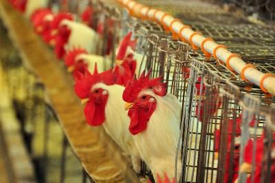 Avicultura: técnicas no campo avançam mais de 20% com auxílio da ciência