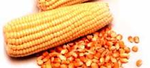 Governo vai vender milho a balcão