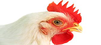 EUA aprovam galinhas transgênicas para uso medicinal