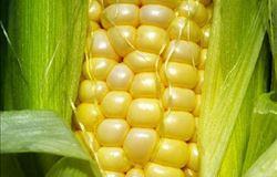 Cai imposto de importação de milho