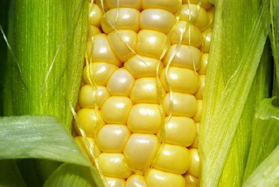 Governo de SC e cooperativas se unem para estimular produção de milho