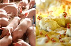 Setores de aves e suínos devem continuar em ascensão, apesar dos altos custos produtivos