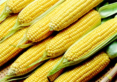 Maior demanda e baixa oferta mantêm preço interno do milho firme