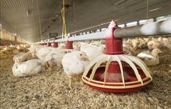 Doença de Gumboro: um desafio constante para a indústria avícola