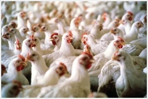 Integradora do Noroeste do PR tem até o dia 31 para se posicionar sobre reinvindicações dos avicultores