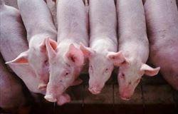 Mercado suíno mundial tende a permanecer fraco até março