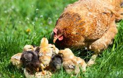Governo fortalece avicultura no Alto Solimões com equipamentos