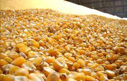 Oferta internacional de milho irá aumentar