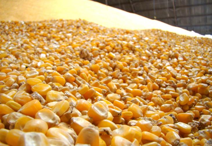 Milho: Com oferta limitada, alta na parcial do mês é de quase 9%