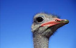 Fazenda no Ceará aposta na criação de avestruz