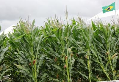 Previsão de aumento da produção de milho na segunda safra