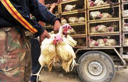 Transporte correto influência no sabor da carne de frango