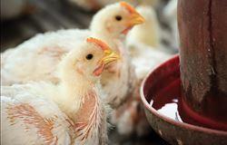 A importância de controles analíticos na produção de frangos, ovos e suínos
