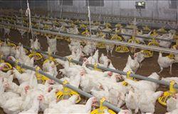 Estão definidos os critérios para importação de material genético avícola