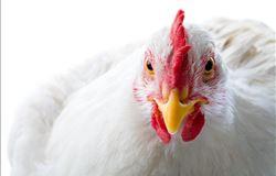 Exportações de frango colaboram com balança comercial