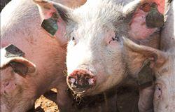 Mato Grosso suspende preço mínimo de cobrança do ICMS da carne suína