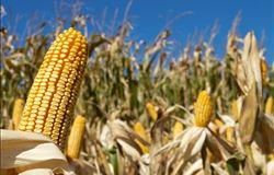 Plantio do milho 2ª safra encerra e indica nova estimativa de produção em MS