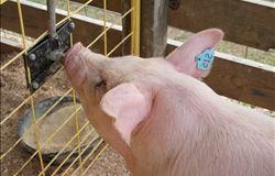 Ácidos orgânicos se tornam alternativa valiosa para a nutrição de suínos, diz especialista