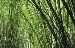 Comercialização do bambu nativo pode favorecer setor de biomassa florestal