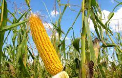 Preço do milho vai cair em 2017, diz analista