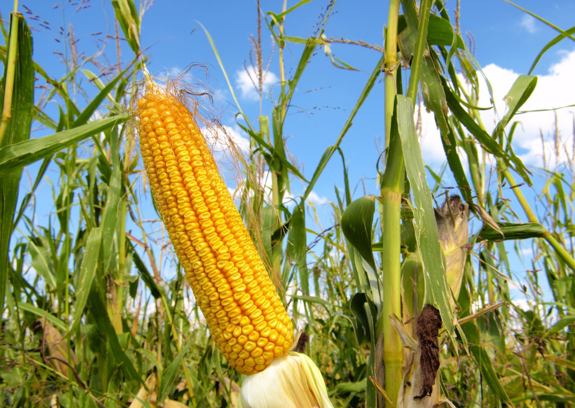 Maior presença de compradores sustenta preços do milho