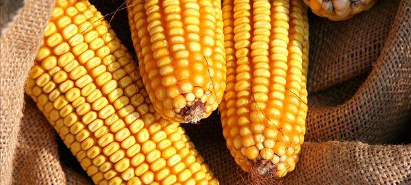 Preocupação com o clima e preços firmes do milho