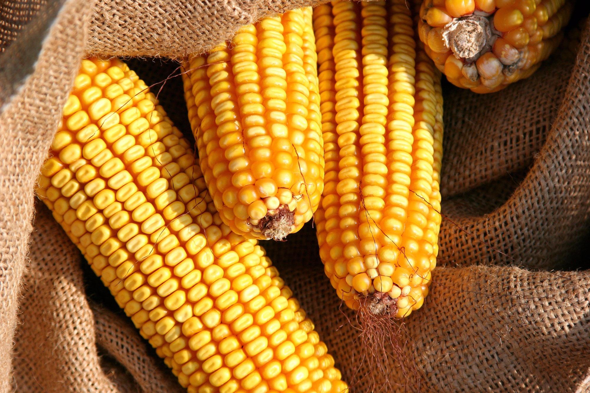 Em plena entressafra, preços do milho recuam no Brasil