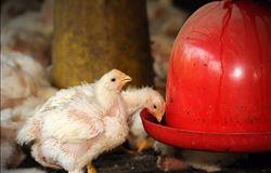 Sem milho, aves morrem de fome em SC