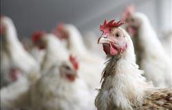 Mercado do frango vivo com preços estáveis