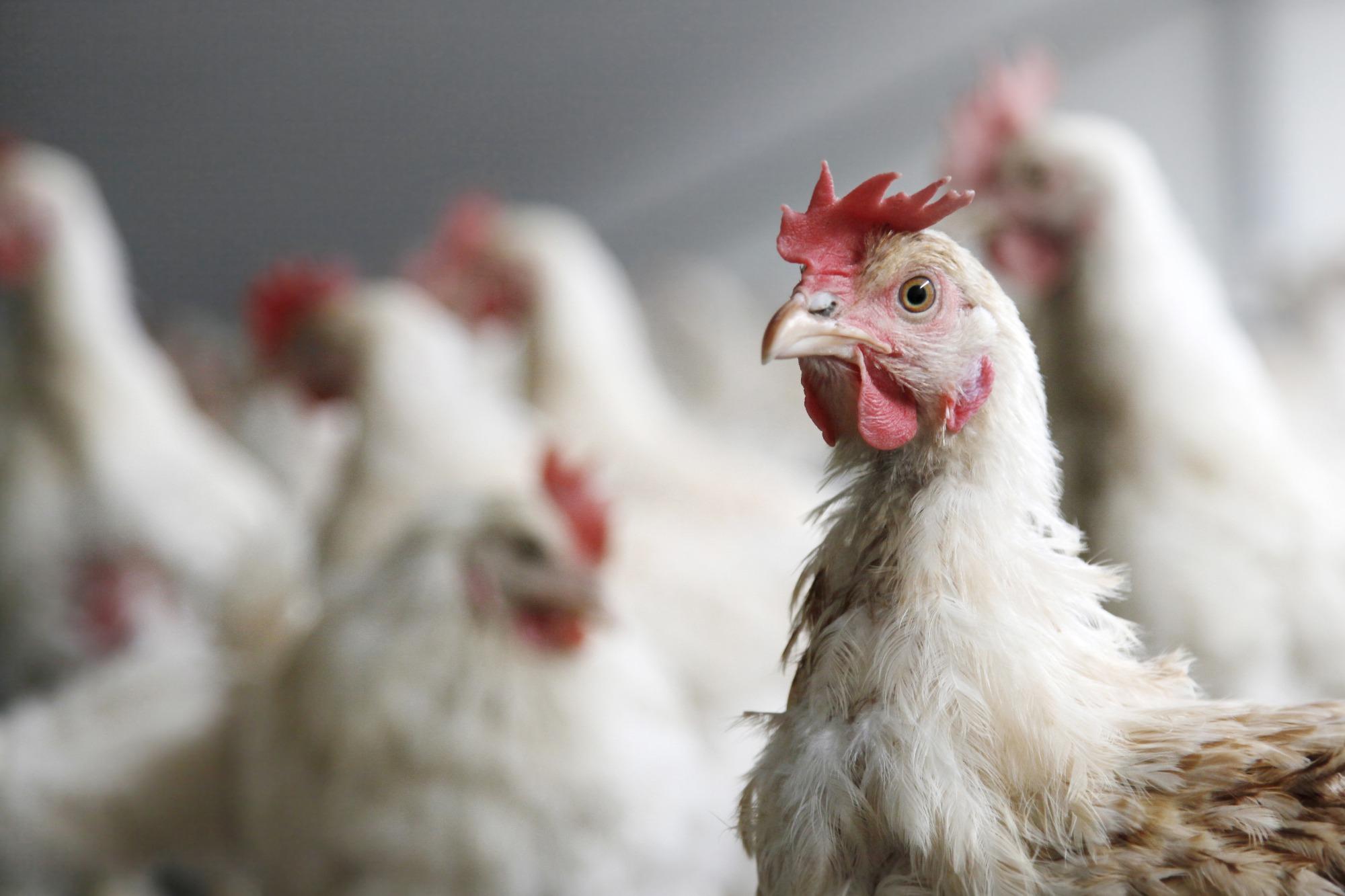 Custo de produção avícola se mantém abaixo da inflação em 2016, aponta Cepea
