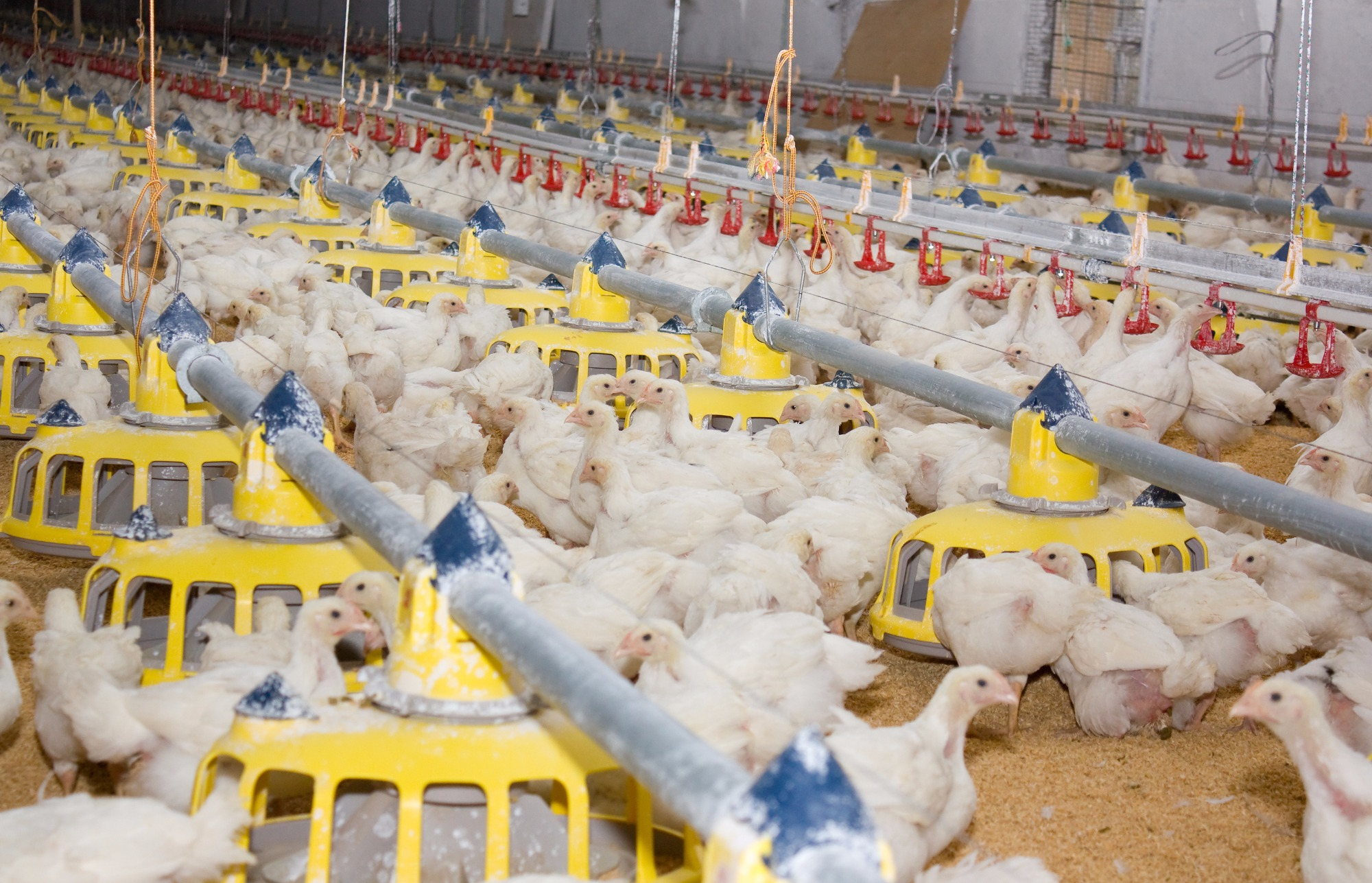 Altas nos preços do frango vivo seguem intensas