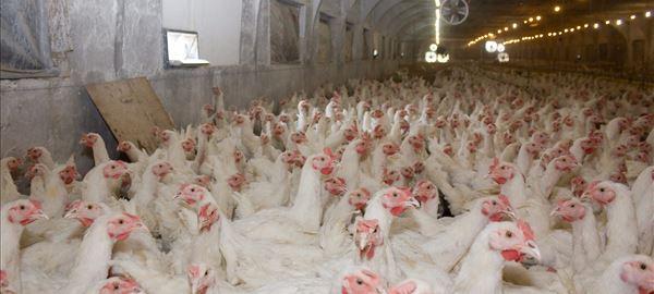 Entre janeiro e abril, produção de frango do PR cresceu 12%, aponta sindicato