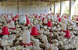 Milhares de patos e frangos são abatidos no Japão