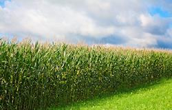 Produtividade de milho cai, afasta vendedor e preço reage