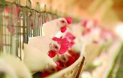 Setor reduz estimativa de produção de frango em 500 mil ton