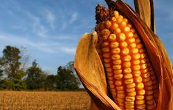 Entenda por que o governo estuda reduzir impostos do milho