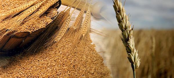 Produtores misturam outros grãos a ração em SC