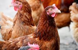 Anticorpos de galinhas produzem substância que substitui antibióticos