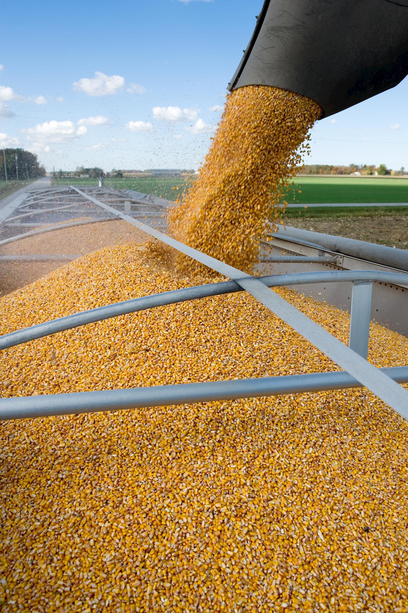 Milho tem altas e baixas em Chicago. Mercado interno continua lento