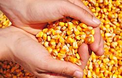 Produtores do Paraná armazenam milho à espera de preços altos