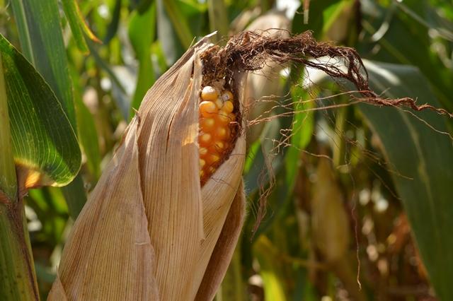 Ofertas recordes podem enfraquecer valor interno do milho em 2017