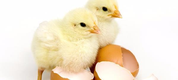 """Alemanha lança protótipo para sexagem """"in ovo"""""""