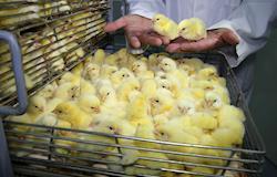 Especialista orienta sobre manejo na incubação de ovos