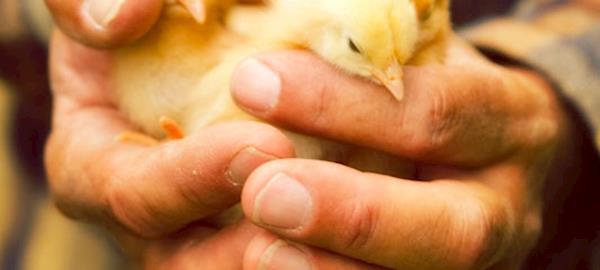 Avicultores colocam o Brasil no topo do ranking mundial dos exportadores de carne de frango