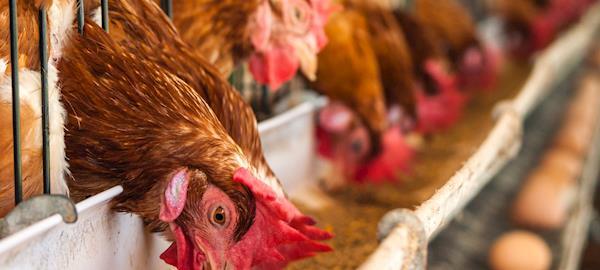 Aumenta diferença entre preços de ovos brancos e vermelhos
