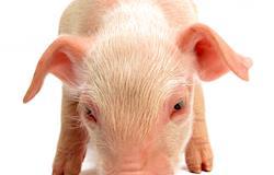 Edição de genoma produz suínos resistentes a vírus fatal